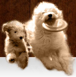 Spingview Mini Goldendoodles